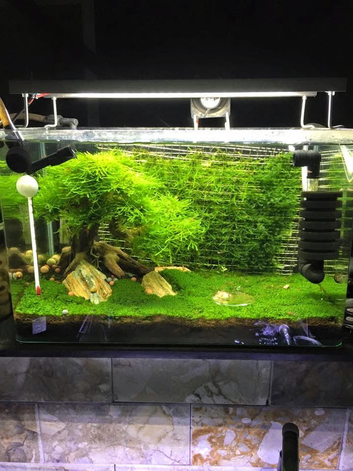 Vĩ inox làm tường rêu cho hồ thủy sinh