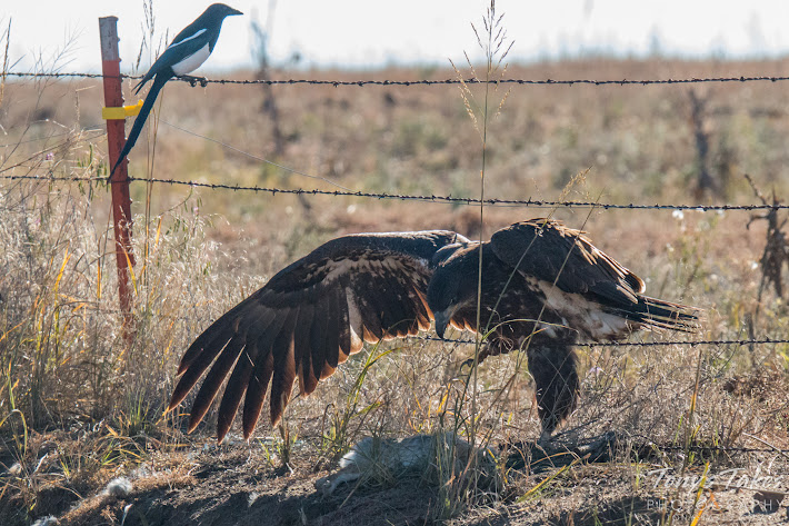 A juvenile Bald Eagle crosses a barbed wire fence to reach its kill - a rabbit.  (© Tony's Takes)