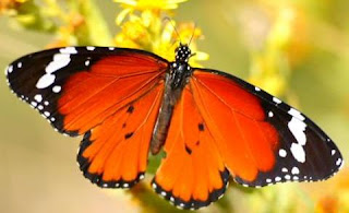 Mariposa de color anaranjado con negro y blanco