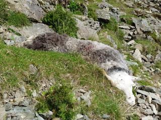 A dead sheep