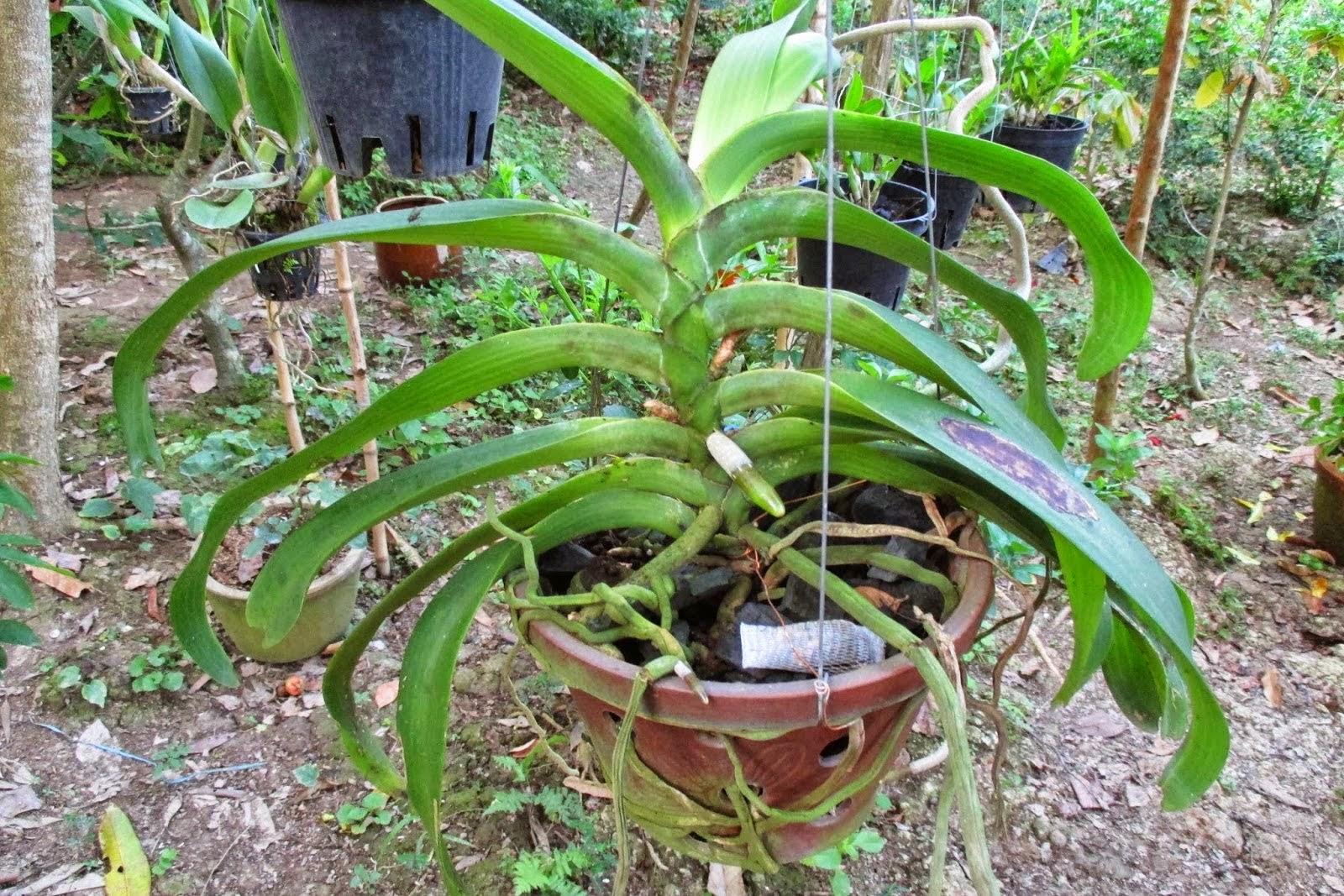 Lan Đai Châu là loài lan ưa sáng 60% ánh sáng trực tiếp dễ làm cây bị bỏng lá