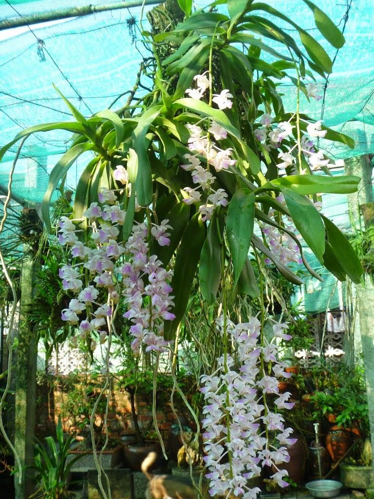 Giáng hương tam bảo sắc là loại lan rừng được ưa chuộng và trồng phổ biến tại Viêt Nam phù hợp nhiều kiểu khí hậu, hoa rất thơm