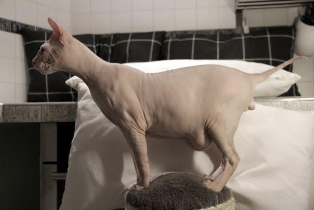 Почему у сиамских кошек сломан хвост