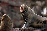 Fur Seals and Their Antics