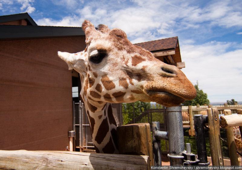 USA Colorado Cheyenne Mountain Zoo Giraffe США Колорадо Шайенн Маунтин Зоопарк Жираф