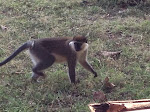 Monkey at Weliso
