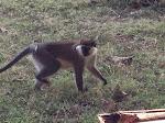 Monkey at Weliso