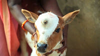 Image of a calf born with a 'third eye' and believed to be the reincarnation of the Hindu god Shiva