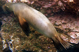 Several Sealions Swam With Us At Champion Island While Snorkeling