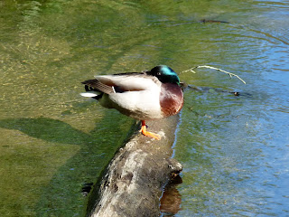 A sleepy Mallard on the River Wye. Are their eyes always open?