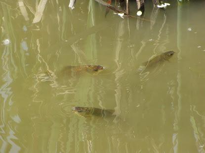 У полтавських Пушкарівських ставках від спеки страждає риба, фото-1