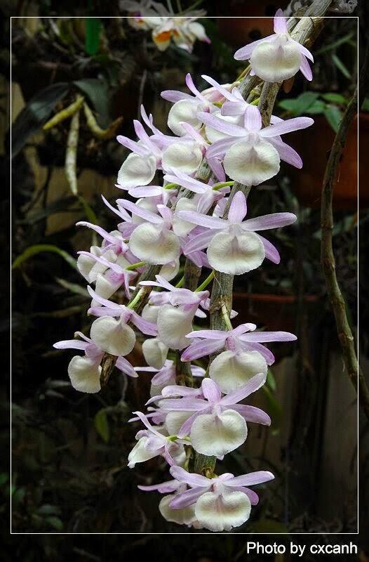 Hoàng thảo Vôi thường có 2 màu hoa tím và trắng, trên lưỡi hoa tròn có các tia đỏ chạy ra từ họng
