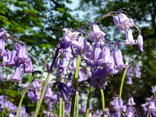 More Bluebells ...