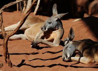 Fotografía de canguros durmiendo