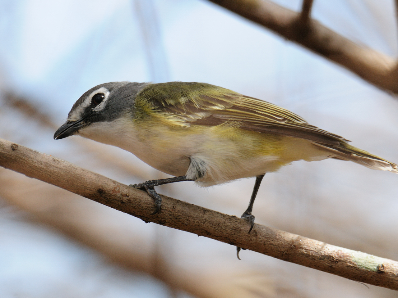 Yellow jay bird