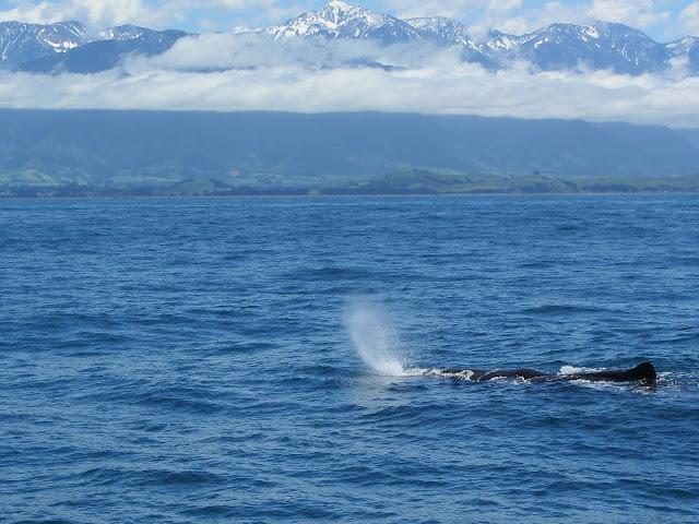 Thar she blows! A sperm whale off Kaikoura.