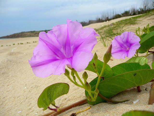 Ảnh hoa muống biển màu tím đẹp
