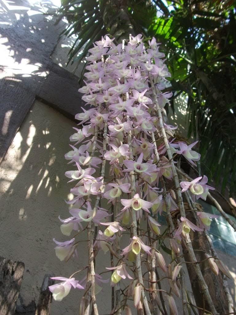Hạc vỹ lào là phong lan thân thòng, cây nghỉ vào mùa đông, đến mùa xuân sẽ ra hoa