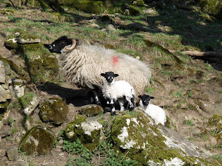 Mum with lambs