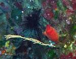 Oursin diadème, gorgone blanche et ascidie rouge