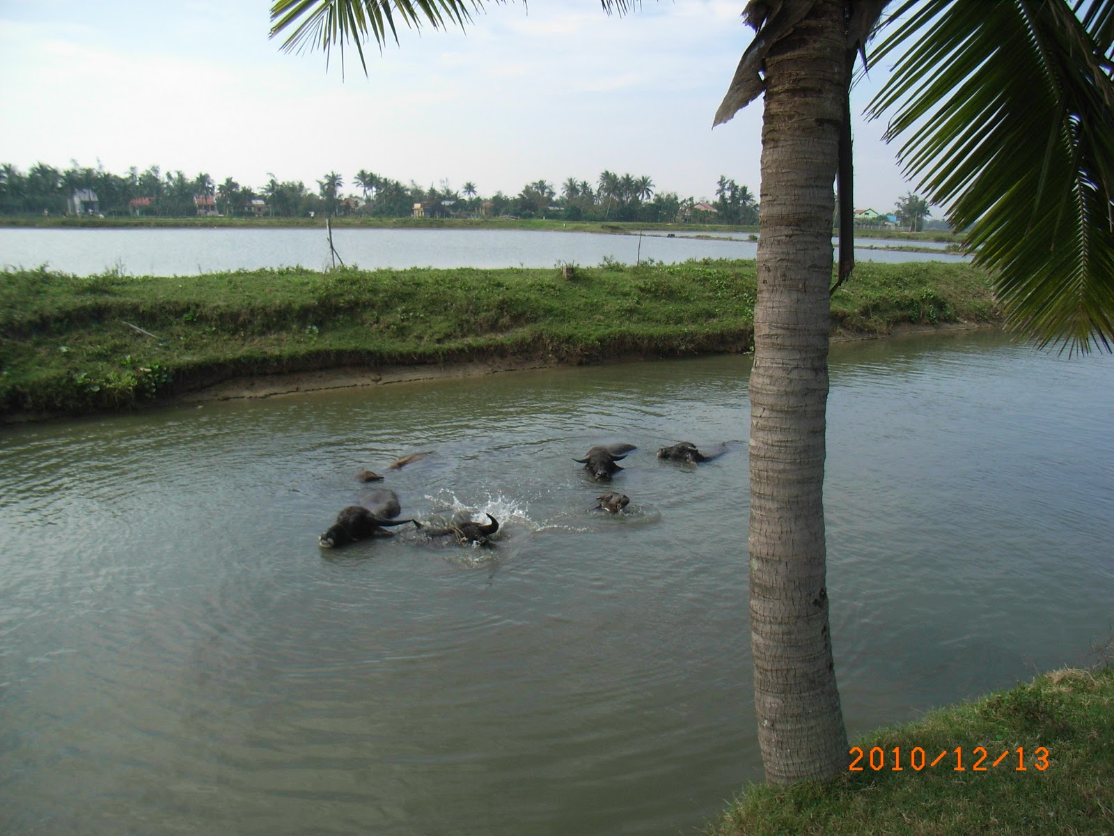 Water buffalo having a batle