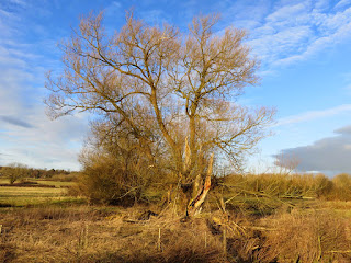 An old tree next to the River Henmore