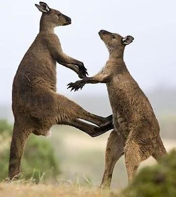 Canguros peleando