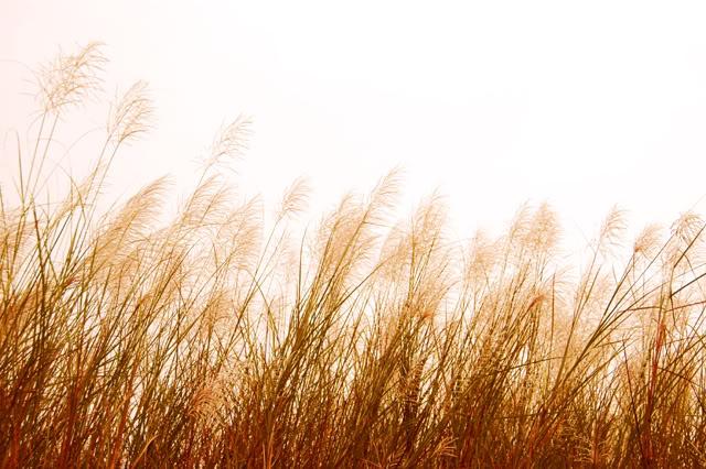 Tải ảnh hoa cỏ may