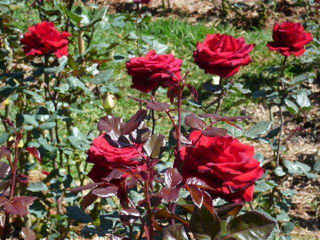 vườn hoa hồng nhung đẹp