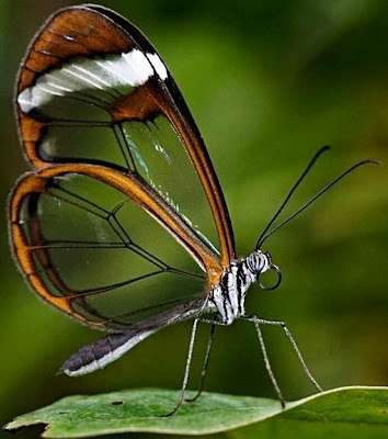 Mariposa con alas transparentes
