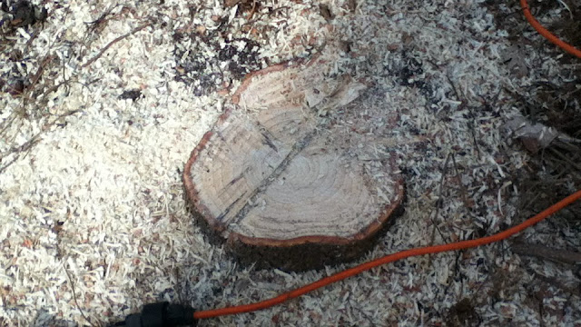 Evergreen tree stump