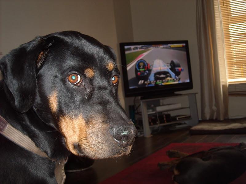 собака смотрит на пилотирование Марка Уэббера по телевизору на Гран-при Абу-Даби 2011