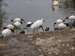 African sacred ibis and little egret