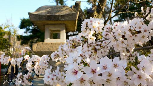 善光寺の桜4