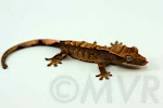 Cajun is a possible tricolor harlequin (Awesome-O x Sienna) from moonvalleyreptiles.com