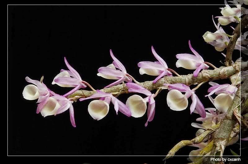 thân hoàng thảo Vôi phủ nhiều lớp vỏ phấn thường hay bị bong tróc lớp vỏ này tạo cho thân 1 lớp mốc, có lẽ vì thế nên gọi là hoàng thảo vôi
