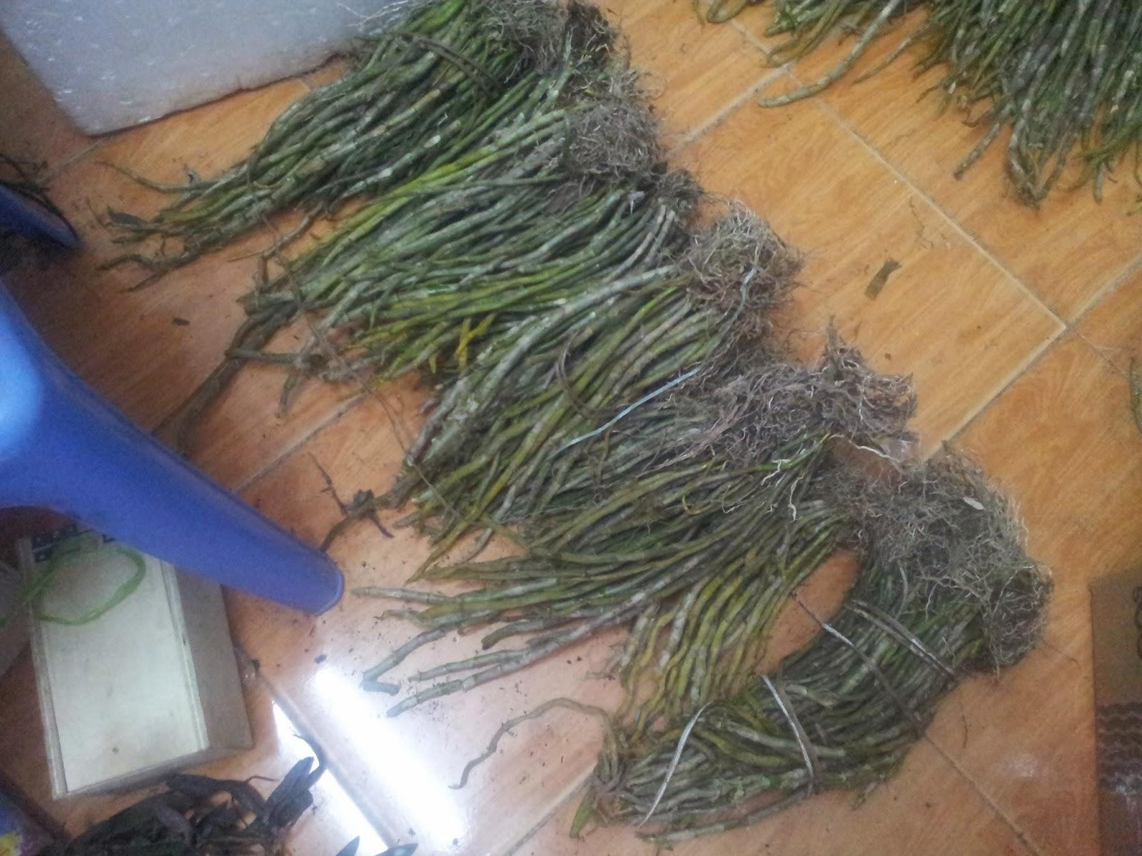 Hoàng thảo vôi được bán hàng kg
