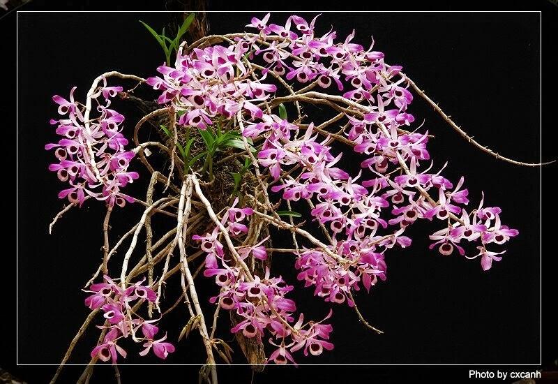 Hoàng thảo kèn sai hoa, hoa thơm, tím đậm, giá cao và nhận được sự quan tâm rất lớn của người chơi