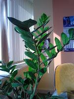 """Замиокулькас или """"Долларовое дерево"""""""