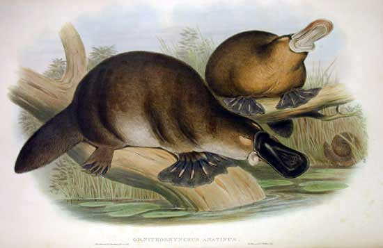 Creepy Halloweeny Poisonous Platypus