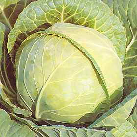 History Of Cabbage
