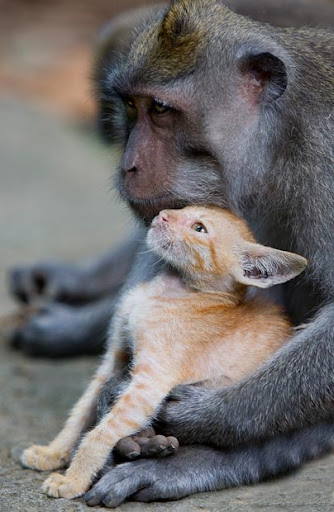 monkey adopts a kitten