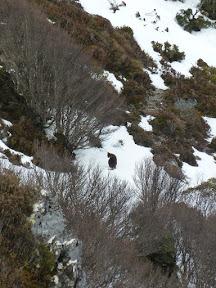 Kangourou dans la neige