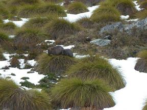 Wombats sur button grass