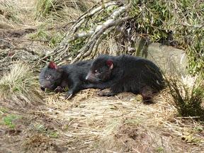 Diables de Tasmanie