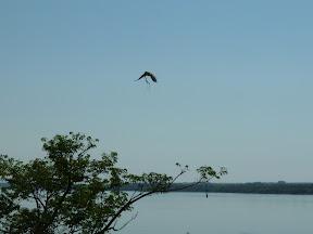 Conure rapportant une branche au nid