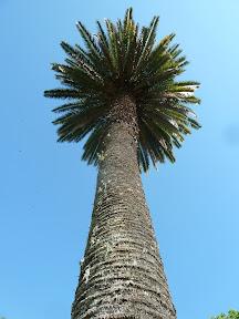 Palmier yatai
