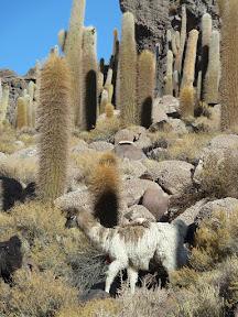 Lama au milieu des cactus cardón