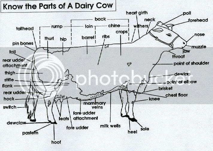 Anatomy of cow udder