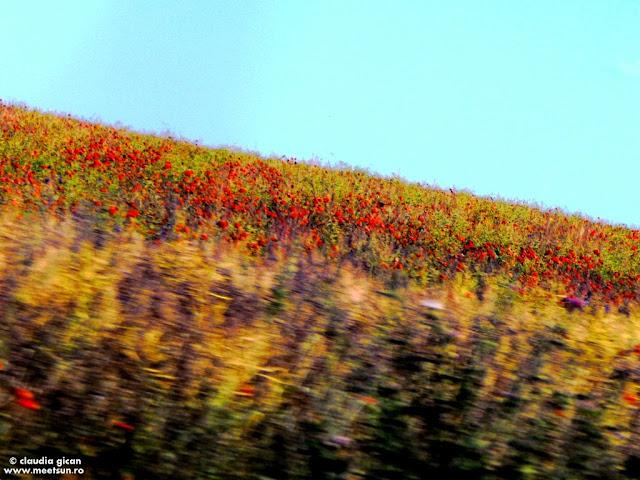 viata ca o vara - lanul de maci si flori mov